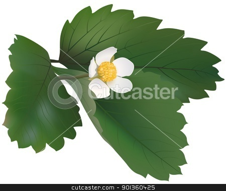 Wild Strawberry stock photo, Wild Strawberry Plant - colored illustration by derocz