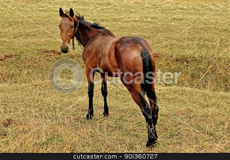 Bay horse in the meadow stock photo, Bay horse with a chain and collar on the background of yellow-green grass by rezkrr