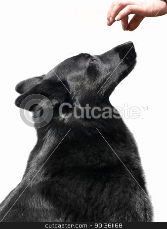 black dog and award stock photo, training with a black dog by prill