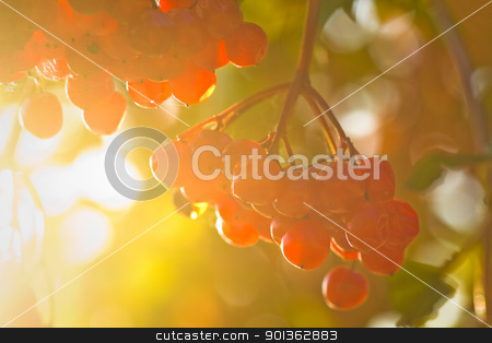Red berries in autumn sunshine stock photo, Red berries on Guelder Rose, also called Water Elder, European Cranberrybush, Cramp Bark or Snowball Tree in autumn sunshine by Colette Planken-Kooij