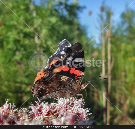 Red Admiral in sunny ambiance stock photo, sideways shot of a a butterfly named Red Admiral at summer time by prill