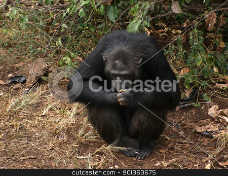 chimpanzee sitting on the ground stock photo, Outdoor shot in Uganda (Africa) showing a chimpanzee sitting on the ground in front of some vegetation by prill