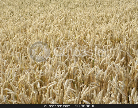 ripe wheat field in sunny ambiance stock photo, full frame detail of a wheat field at summer time by prill