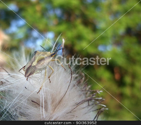 stink bug at summer time stock photo, a stink bug on fluffy seed in natural green blurry back by prill