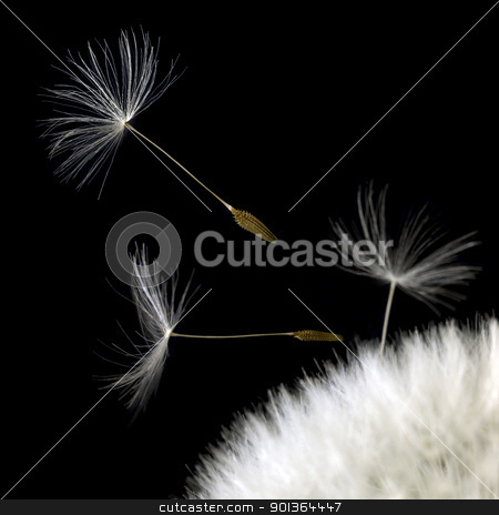 dandelion seeds closeup in black back stock photo, some dandelion seeds in black back by prill