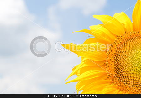 Sunflower stock photo, Sunflower with blue cloudy sky on background by Iryna Rasko