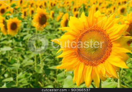 Sunflowers stock photo, Sunflower close-up with many flowers and green leaves on background by Iryna Rasko