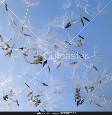 dandelion seeds in blue back stock photo, flying dandelion seeds in blue back by prill