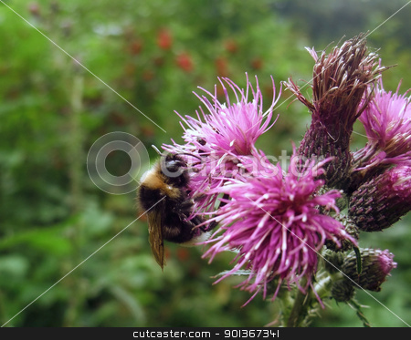 bumblebee on thistle flower stock photo, a bumblebee on violet thistle flower in green blurry back by prill