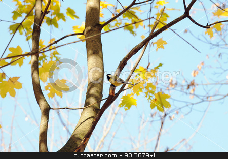 the tit stock photo, A tit bird sits on a branch of the autumn maple by Salauyou Yury