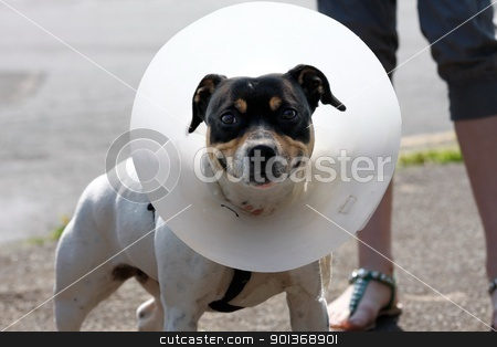 Small dog wearing a cone stock photo, Small dog wearing a cone after surgery by steve ball