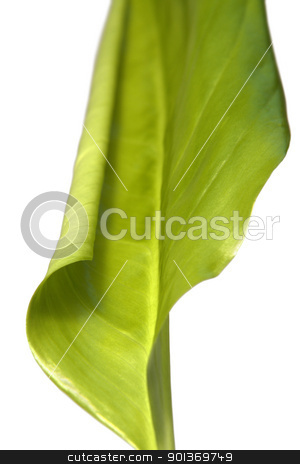 green spring leaf stock photo, studio photography of a fresh green leaf in white back by prill