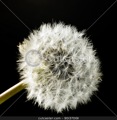 dandelion blowball in black back stock photo, blowball closeup in black back by prill