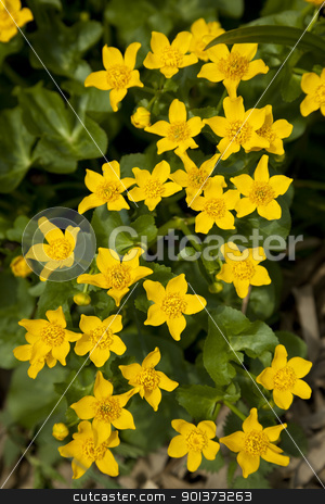 Marsh Marigold stock photo, marsh marigold Caltha palustris wild flower on meadow by Jolanta Dabrowska