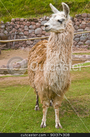Alpaca stock photo, Close up of an alpaca by Kobby Dagan