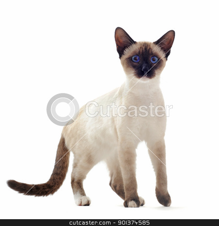 Siamese kitten stock photo, beautiful purebred siamese kitten in front of white background by Bonzami Emmanuelle