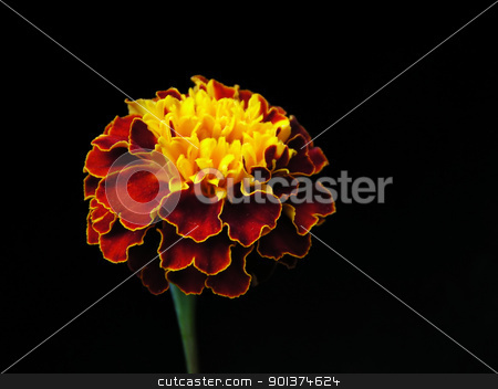 Flower on black background stock photo, Flower (Afrikaner) on black background by orson