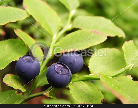 Bluberries stock photo, Blueberry on the shrublet by orson