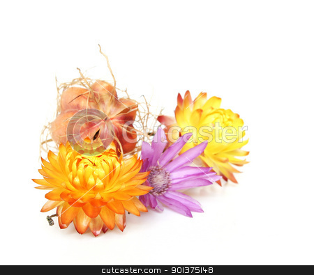 Strawflowers stock photo, Strawflowers separated on white background by orson