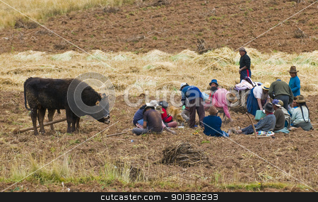 Potato harvest stock photo, SACRED VALLEY,  PERU - MAY 26 : Groupe of Peruvian people in a potato harvest in the Andes of Peru by Kobby Dagan