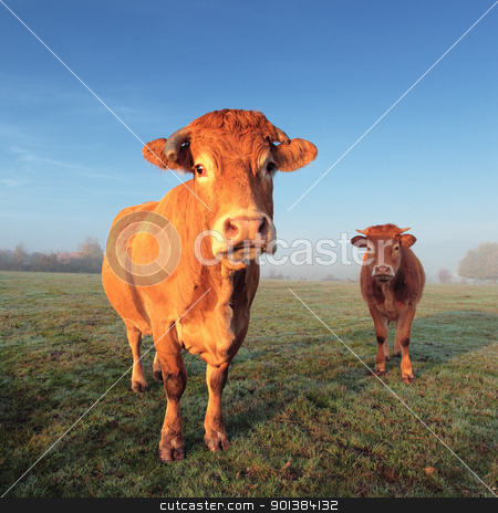 cow and calf stock photo, brown cow and calf in morning light by vwalakte