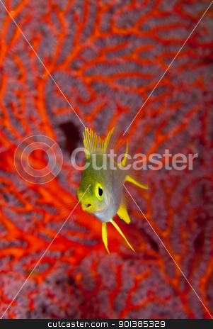 Single cardinal stock photo, A close up on a cardinal fish swimming along coral, Bangka, Indonesia by Fiona Ayerst Underwater Photography