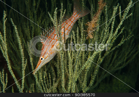 Longnose hawkfish stock photo, A close up on a longnose hawkfish between seagrass, KwaZulu Natal, South Africa by Fiona Ayerst Underwater Photography