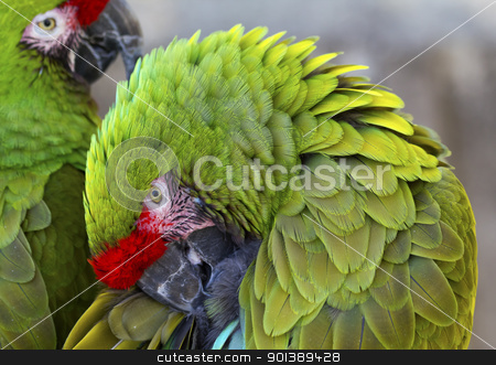 Green Feathers Military Macaws  stock photo,  Green Feathers Two Military Macaws Close Up Circle Ara Militaris  by William Perry