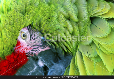 Green Red Feathers Military Macaw Close Up stock photo,  Green Red Feathers Military Macaw Close Up Looking at You by William Perry