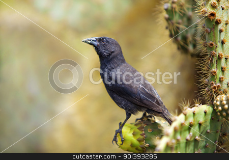 Galapagos Common Cactus Finch stock photo, Galapagos Common Cactus Finch feeding on the cactus by Kjersti Jorgensen