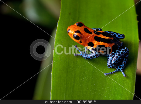 red striped poison dart frog blue legs stock photo, red striped poison dart frog blue legs of amazon rain forest in Peru, poisonous animal of tropical rainforest, pet in terrarium by Dirk Ercken