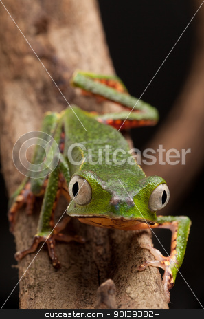 frog with big eyes stock photo, frog with big eyes on branch of a tropical tree in amazon rainforest. Macro of beautiful night animal in rain forest jungle of south america. by Dirk Ercken