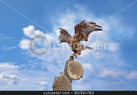 Galapagos Hawk on Santa Fe stock photo, Galapagos Hawk on a cactus,  Santa Fe by Kjersti Jorgensen