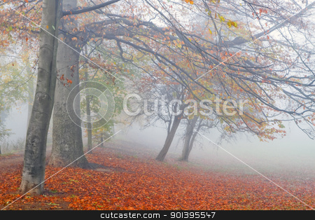 Beechtrees in dense fog stock photo, Mist in fall - Beechtrees and colorful fallen leaves in dense fog on cold November day by Colette Planken-Kooij