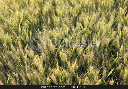 Wheat field in backlight stock photo, Wheat field in early summer by anton havelaar