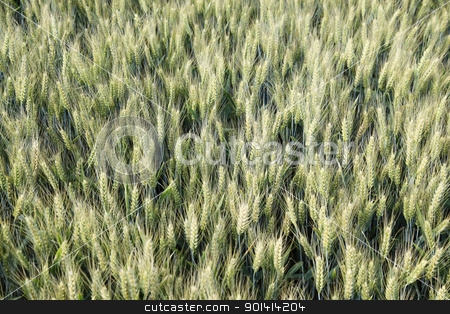 Wheat field from above stock photo, Wheat field from above, not ripe yet by anton havelaar
