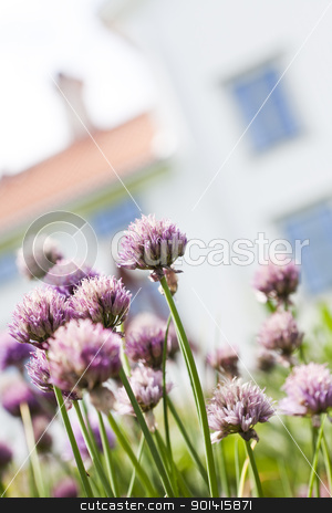Purple Leek stock photo, Purple Leek with short focal depth by Anne-Louise Quarfoth