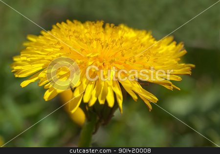 Yellow dandelion stock photo, Yellow dandelion by vtorous
