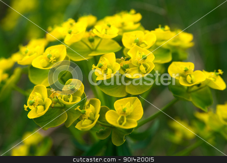 Small yellow flowers stock photo, Small yellow flowers by vtorous
