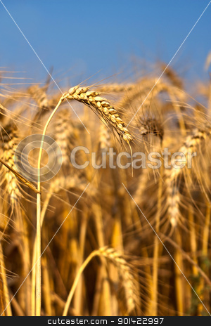 Cereal stock photo, Cereal field with corn in the ear in the summer light by ARPAD RADOCZY