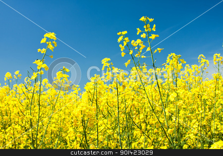 Colza stock photo, Colza flowers beautiful with blue sky of background by ARPAD RADOCZY