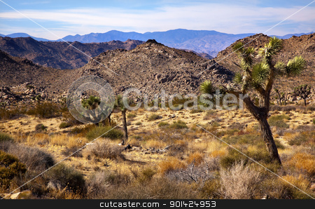 Yucca  Brevifolia Mountains Mojave Desert Joshua Tree National P stock photo, Joshua Tree Landscape Yucca Brevifolia Mountains Mojave Desert Joshua Tree National Park California Named by the Mormon Settlers for Joshua in the Bible because the branches look like outstretched hands by William Perry