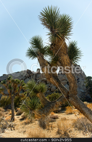 Yucca  Brevifolia Mojave Desert Joshua Tree National Park Califo stock photo, Twisted Joshua Tree Landscape Yucca Brevifolia Mojave Desert Joshua Tree National Park California Named by the Mormon Settlers for Joshua in the Bible because the branches look like outstretched hands by William Perry