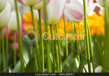 tulips stock photo, A photo of colorful tulips under natural light condiitions by klenova