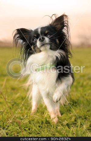 black and white chihuahua stock photo, portrait of a cute purebred  black and white  chihuahua by Bonzami Emmanuelle