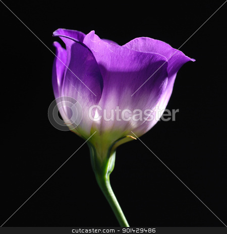 purple tulip  stock photo, purple tulip on black background   by sutike