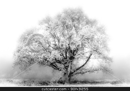 White Oak Tree fog stock photo, White Oak Tree showing up in the fog by teusrenes