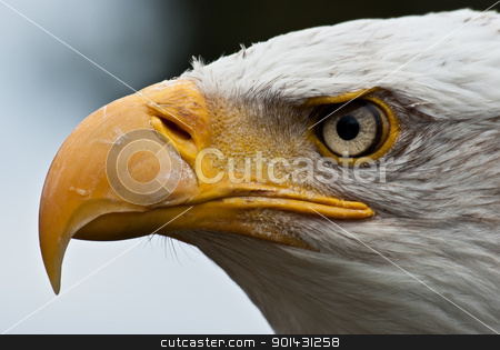 Eagle Without Beak Bald Eagle Beak Bald Eagle