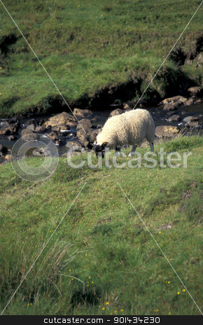 Sheep grazing. stock photo, Sheep grazing in the grass on a hilltop. by OSCAR Williams