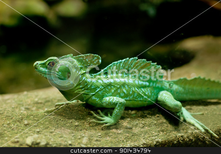Green Basilisk stock photo, Green Basilisk (Basiliscus plumifrons) by JAMDesign